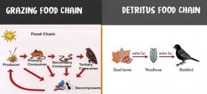 Grazing food chain vs Detritus food chain
