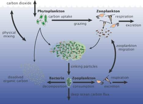 Phytoplanktons