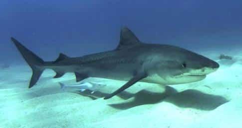 Ganges River shark