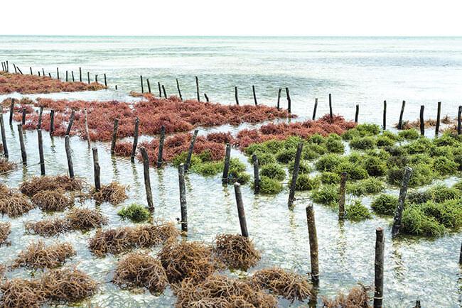 seaweed farming upsc
