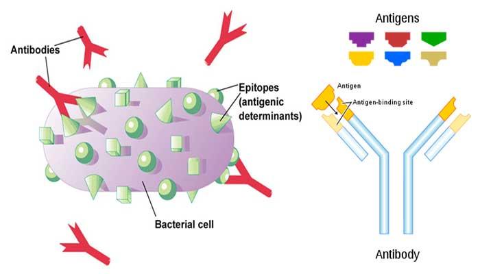 antigen vs antibody